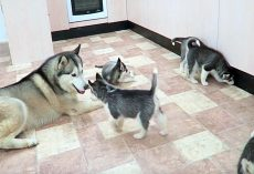 Rambunctious Husky Meets His 9 Pups For First Time – Outcome Doesn't Disappoint