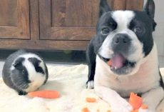 Guinea Pig Thinks Identical Dog Is Her Twin, Loves Sharing Her Carrots With Him
