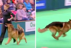 Dog Wins Hearts At Dog Show With Intense Discipline, His Focus Is Incredible
