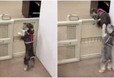 Pup Sees His Doggy Sister Struggling To Get Over Gate – Lends Her A Helping Paw