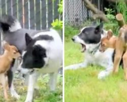 Orphan Fawn Thinks Bear-Scaring Dog Is His Mom, Follows Him Around Like A Puppy