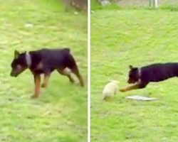Mom Wonders What Rottweiler Is Up To, Grabs Her Camera As The Dog Chases Bunny