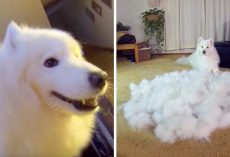Dad Brushes Dog From Day To Night, Time Lapse Video Shows The Insane Fur Produced