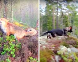 Dog & Fox Chase Each Other Until Fox Jumps On Dog, Dog's Next Move Shook Us All