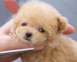 Tiny Toy Poodle Puppy Experiences Grooming For The Very First Time