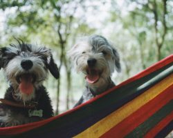 Bye Bye Sneeze: The Hypoallergenic Breeds for the Allergic Dog Owners