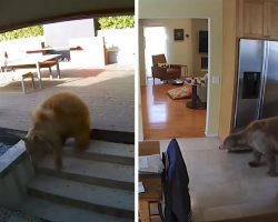 Bear Wanders Into Family's Home Before The Tiny Guard Dogs Can Catch On