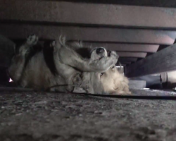 Homeless Golden Retriever is so scared, she covers her eyes when people approach
