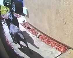 Doorbell Cam Captures Loyal Dogs Running To Get Help For Their Owner