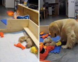 First-Time Golden Retriever Mom Consoles Her Crying Puppies By Bringing Them Her Favorite Toys
