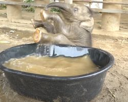Baby Elephant Takes To The Tub For Her First Bath