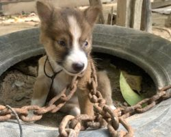 Owner Chains Tiny Puppy Outside As Punishment For Biting One Of The Chickens