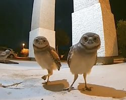 Owls Show Up On A Porch Then Realize They're Being Watched