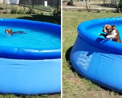 It Takes A Bribe To Get Thor The Boston Terrier Out Of The Pool