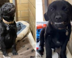 Labrador Puppy Looking For A Forever Home Sits In Shelter Smiling At Everyone Who Passes By