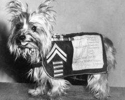 Dogs in History: Smoky, a Dedicated Soldier and the First Therapy Dog in WWII