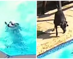 Black Lab Uses Every Ounce Of Strength Trying To Help Dog Drowning In Pool