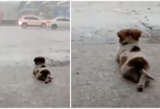 Little Dog Peacefully Watching The Rain By Himself Goes Viral