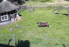 Goat & Rooster Rushes In To Protect Chicken Friend From Hawk Attack
