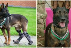 Heroic Military Working Dog Who Lost Paw Saving Soldiers in Conflict Awarded Highest Military Honor