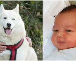 Husky Discovers Abandoned Newborn Baby in Park, 'Gently Nudges' Him Awake Before Alerting Owner