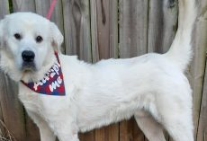 Hero Dog Up For Adoption Saves Rescue Volunteer from Kidnapping Attempt