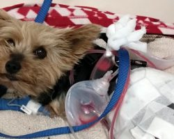 Hero Yorkie Fends Off Attacking Coyote To Save Her 10-Year-Old Owner