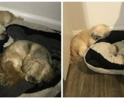 Inseparable Dogs Always Used to Share a Bed—a Year After One Passed, the Other Refuses to Sleep in his Spot
