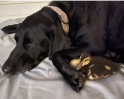 Black Lab Saves Her Duck Pals From Alligator