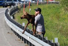 Man Helps Exhausted Baby Moose Cross The Road To Help Him Reunite With Mom