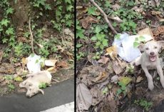 Little Puppy Found By A Busy Road Wouldn't Stop Screaming At His Rescuer