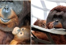 """Orangutan Dad Steps Up To Become """"Mr. Mom"""" To Care For His Daughter after Mom's Passing"""