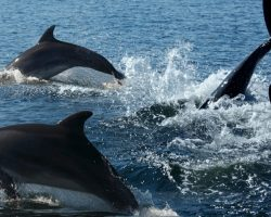 Pod of Dolphins Help Save a Life, Alerting Rescuers to a Swimmer Lost at Sea