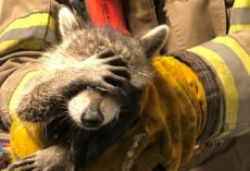 Raccoon Holds Paw Over Eyes After Being Rescued As If He's 'Embarrassed'