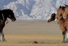 Clydesdales Line Up For A Game Of Football When A 'Streaker' Runs Onto The Field