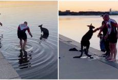Thankful Kangaroo Offers Handshake After Being Rescued From Freezing Lake