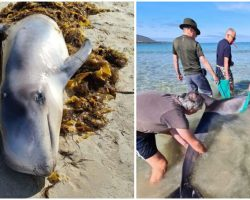 Quick-Thinking Vacationing Tourists Help Stranded Dolphin To Get Back To Sea Using Towels & Seaweed