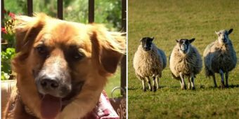 Lost Dog Who Went Missing After Car Crash Found at a Farm Herding Sheep
