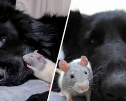 Tiny Rat Loves Nothing More Than To Snuggle His Giant German Shepherd Friend